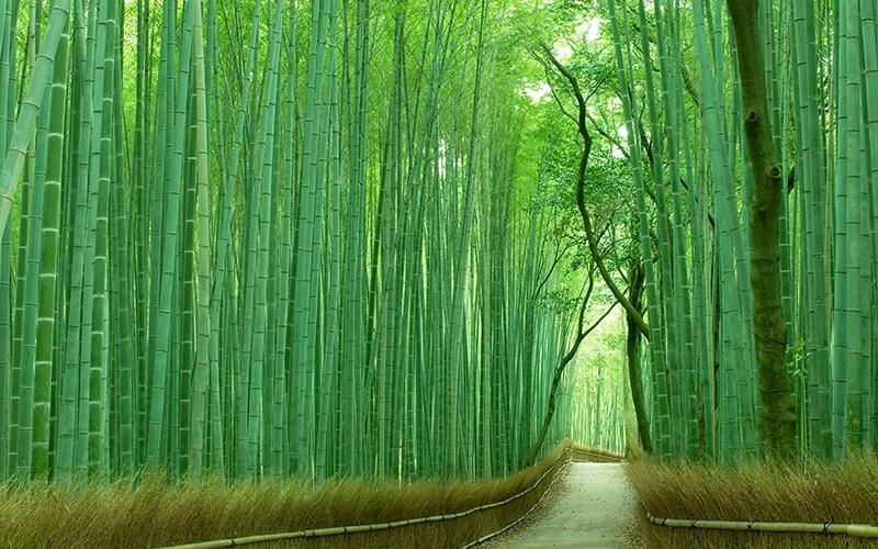 京都は嵯峨野の竹林の道